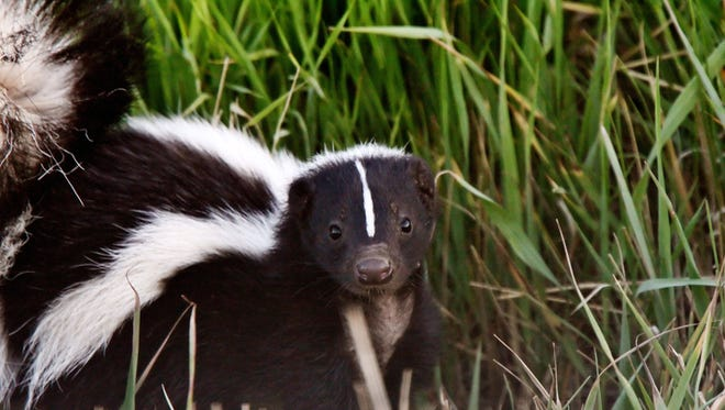 There have been 77 rabid animals — mostly skunks and foxes — reported as of May 31.