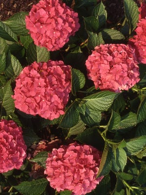 To grow a Forever Pink big leaf hydrangea in full bloom is a dream come true. The bad news is that this planting only had full bloom once over 10 years. Richard Poffenbaugh photo.