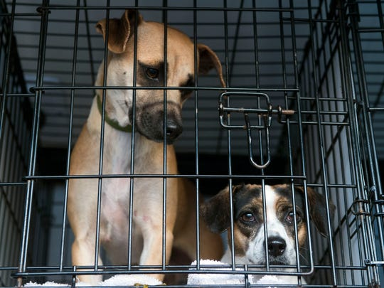 Brownie and Ruby wait patiently to be transported to  the Michigan Humane Society by GoNorth Animal Transport Collaborative.