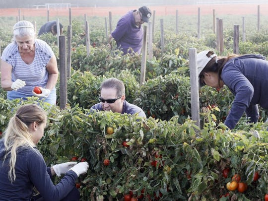 Pick-Your-Own Roma Tomatoes is a Labor Day weekend
