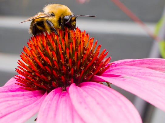A bumblebee feeds on pollen from a purple coneflower
