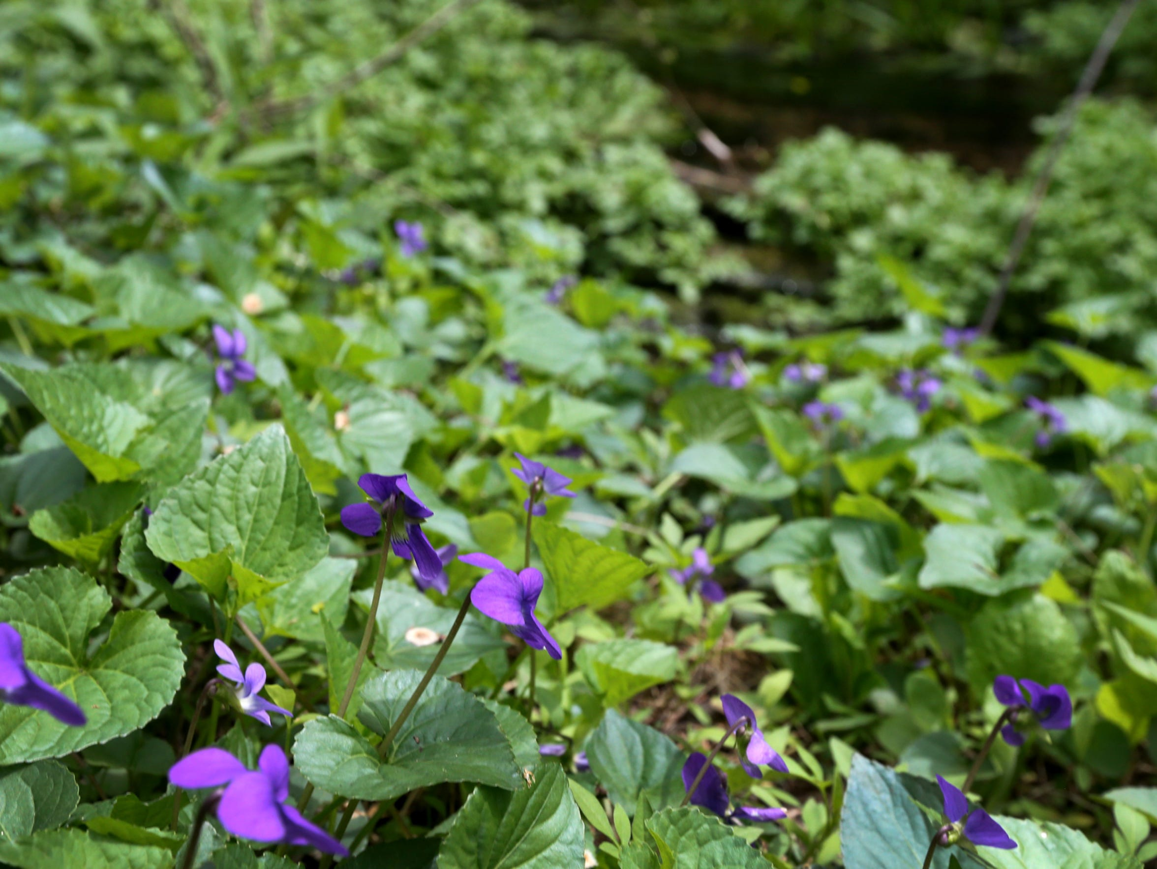Wild violets in bloom can be seen during a walk around