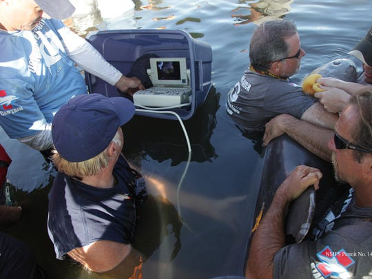 Dr. Gregory Bossart performs an ultrasound on an Atlantic bottlenose dolphin during this year's Health and Environmental Risk Assessment (HERA). This study helps scientists and researchers better understand Atlantic bottlenose dolphins' health and their ecosystem.