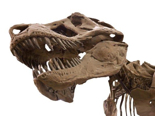 dinosaur Tyrannosaurus Rex skeleton