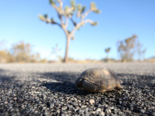 A desert tortoise hides in its shell on Loop Road in Joshua Tree National Park.