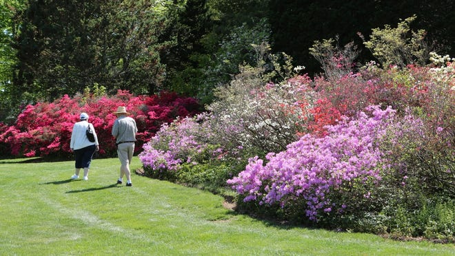 The azaleas are blooming at Lasdon Park in Somers.