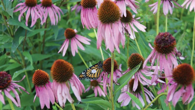 A banded monarch on a coneflower at the University of Minnesota Crookston's June Shaver Butterfly Garden