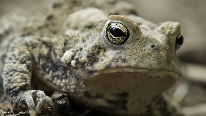 The American toad (pictured above) is a common sight and a creature that can be beneficial to humans. People can learn more about toads at a free online Missouri Department of Conservation program on Aug. 25.