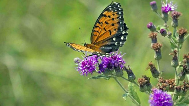 The Regal Fritillary butterfly needs tall-grass prairies and the violets that grow in them to survive. Missouri Department of Conservation Natural History Biologist Chris Newbold is working to restore and reconstruct prairie land in Central Missouri, which can help support this butterfly species and its dwindling numbers.