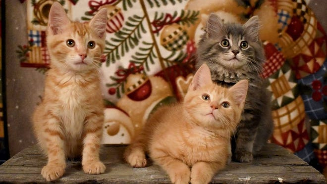 Heathcliff, Garfield and Gizmo are rescue kittens who are enjoying a holiday photo shoot with Vicki Hahn.