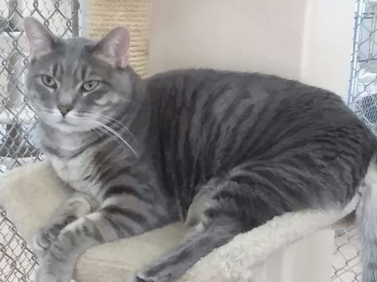 Napoleon is available at Sun Cities 4 Paws Rescue,