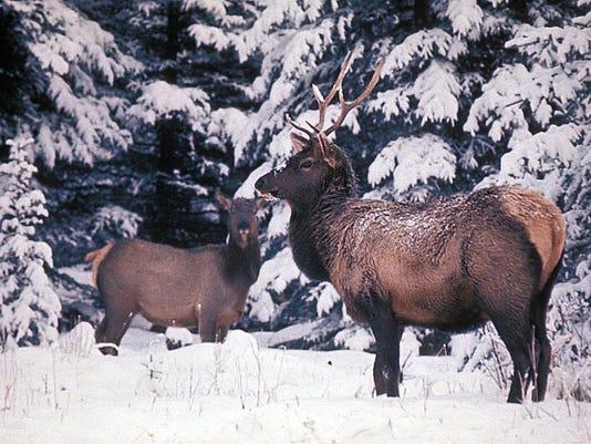 -elk in snow.JPG_20131121.jpg