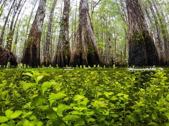 Take a walk on the more than two-mile-long boardwalk at Corkscrew Swamp Sanctuary.