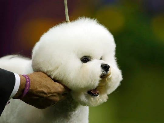 19 Westminster Best in Show dogs, ranked by cuteness (updated with the 2018 winner)