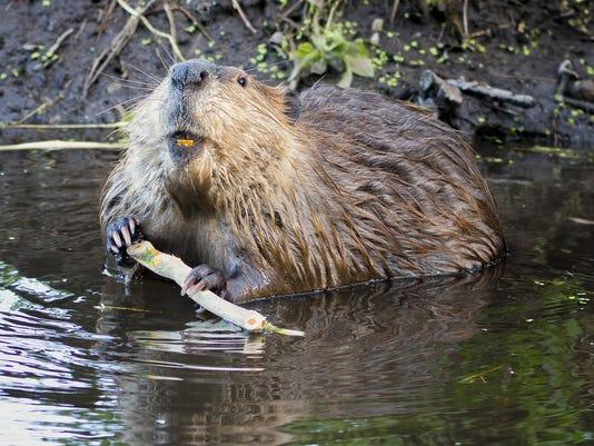 1012 beaver