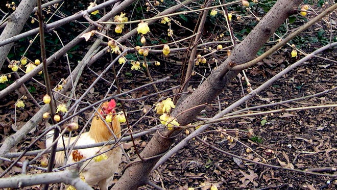 A little planning on paper will help ensure a fragrant outdoor area all year long. Start with wintersweet, which sometimes blooms as early as January in the National Herb Garden at the National Arboretum in Washington.