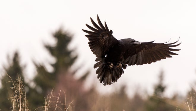 Can you tell the difference between a raven (pictured), a crow and a grackle?