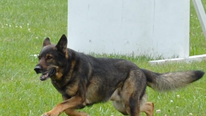 Thunder, a police dog with the Toms River Police Department, runs in a training exercise.