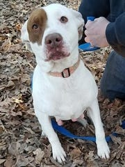 Vixen is an adult, spayed, female pit bull terrier.