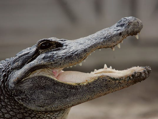 Fatal Alligator Attacks Set New Record In Florida