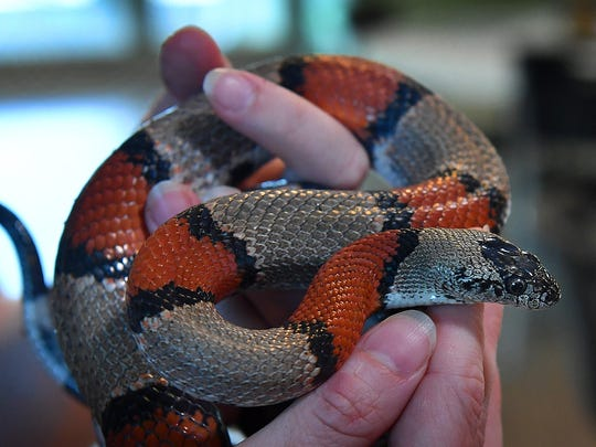 A Grey-Banded King Snake is a colorful, nonvenomous species and part of the educational exhibit at River Bend Nature Center. They are nocturnal, have a calm disposition and feed primarily on rodents and lizards.