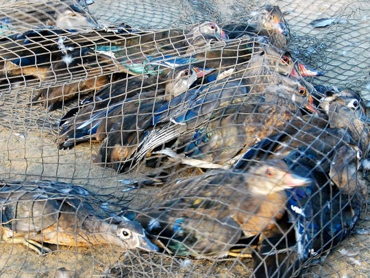 Wood ducks in net trap.