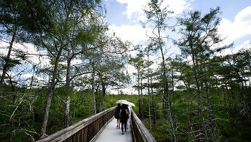 Visitors to the Kirby Storter Roadside Park in Big Cypress National Preserve get a look at the Everglades.