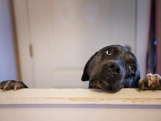 Sarah, a labrador, peeks her head over a dog door at