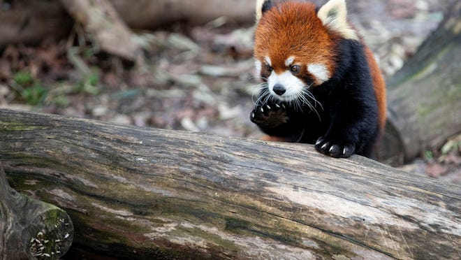 Xing, a 4-year-old red panda, explores his enclosure recently at the Memphis Zoo in Tennessee. At the Bimringham Zoo in Alabama, Parker, a 4-year-old male red panda, was found dead Sunday morning.