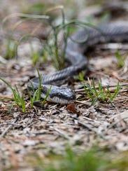 A snake sunbathes along Turtle Trail inside the Patoka