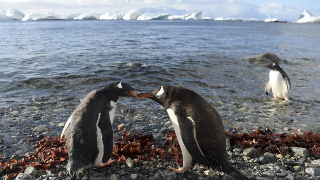 A Gentoo penguin feeding its chick in Cuverville Island, in the western Antarctic peninsula.