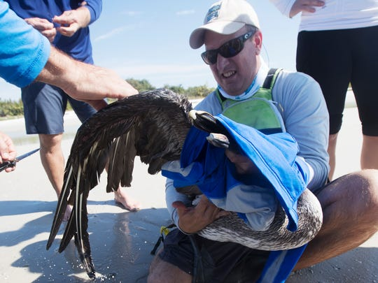 A hook and fishing line is removed from an injured pelican on March 12, 2017 at Bunche Beach.  It was found by Calusa Blueway Coordinator Mike Hammond of Lee County Parks & Recreation and volunteers during a recent sawfish paddle.  The bird had to be euthanized due to the severity of its injuries.