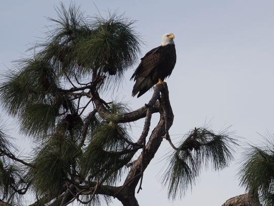 A bald eagle perches on slash pine tree along the Estero River on Thursday 1/25/2018.