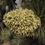 Joshua tree blooms abound on this easy hike