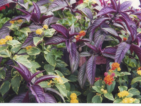 Persian shield wends its way through a variegated-leaf lantana with yellow flowers.