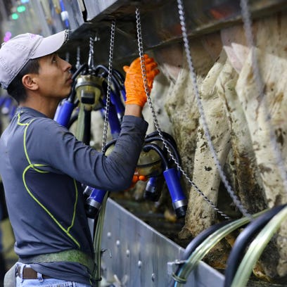 How undocumented immigrants became the backbone of dairies
