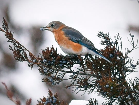 An eastern bluebird eats berries in a juniper tree