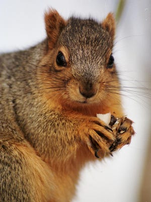 Cute to watch, but beware: a squirrel with nut.