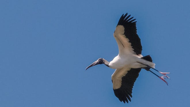 A wood stork photographed at the Everglades National Park.