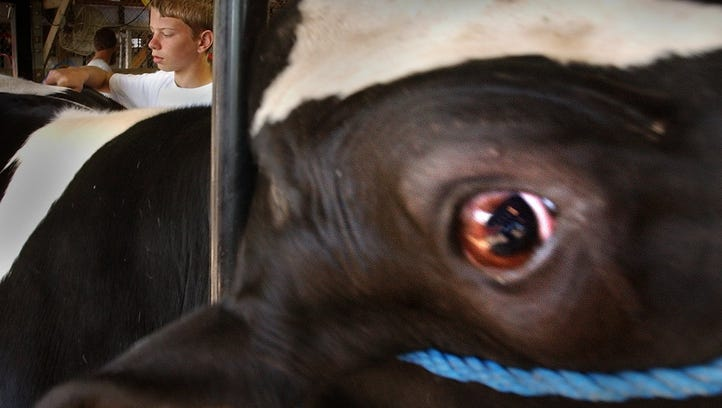 A Holstein steer from Kewaunee County at the Wisconsin State Fair. Cattle have a role in polluted wells in the county, as do humans, a new study says