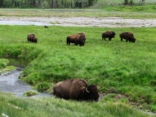 Yellowstone Bison Encounters