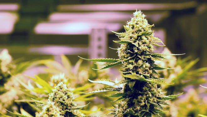 Marijuana plants growing inside a state-licensed store in Colorado.