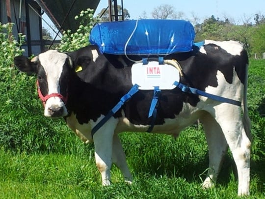 A cow sports a methane-trapping backpack as part of
