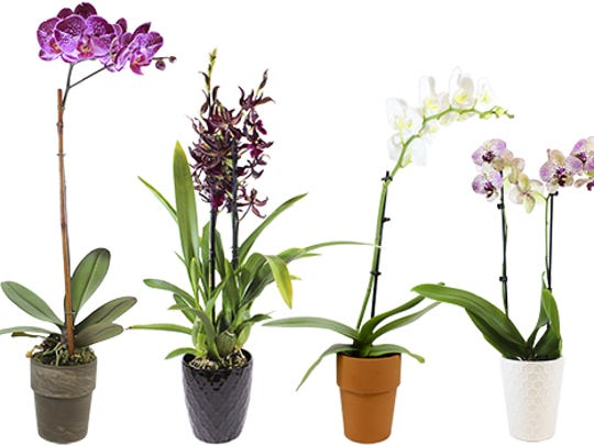 Orchids from Trader Joe's