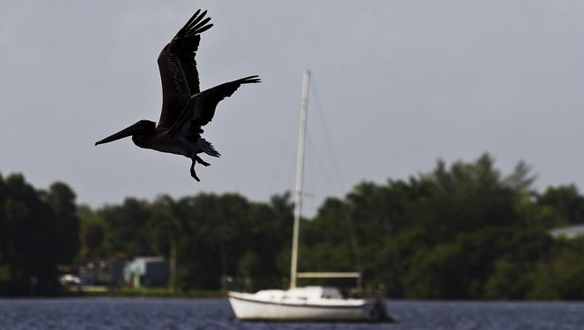 A brown pelican looks for its next meal flying along the Caloosahatchee River near channel marker 35.