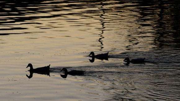 Ducks on the Coosa River before the Christmas on the Coosa Boat Parade and Fireworks Show in Wetumpka, Ala. on Saturday December 13, 2014.