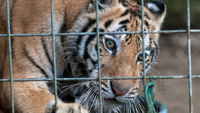 A tiger stares out of his enclosure at the Summer Wind Farm Sanctuary in Brown City.