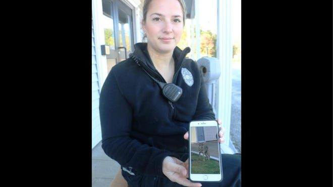 Tiverton Animal Control Officer Jennifer Stills shows a photograph of a coyote that's been hanging out in the populated north end of town.