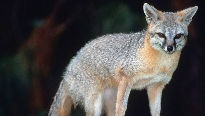 Park staffers will continue searching for the fox in the following days, the park said.
