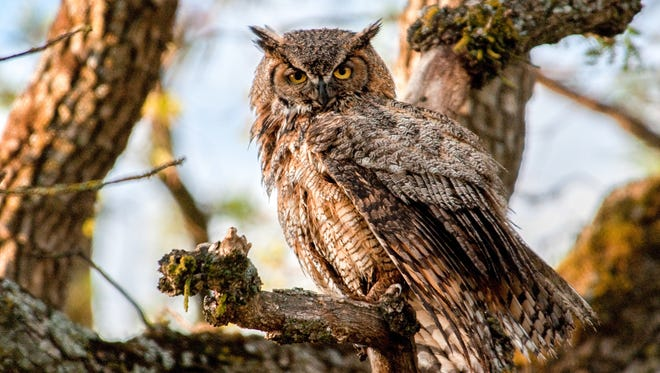 The Great Horned Owl with its cryptic colors that can fade right into tree bark, becomes visible against the sky.